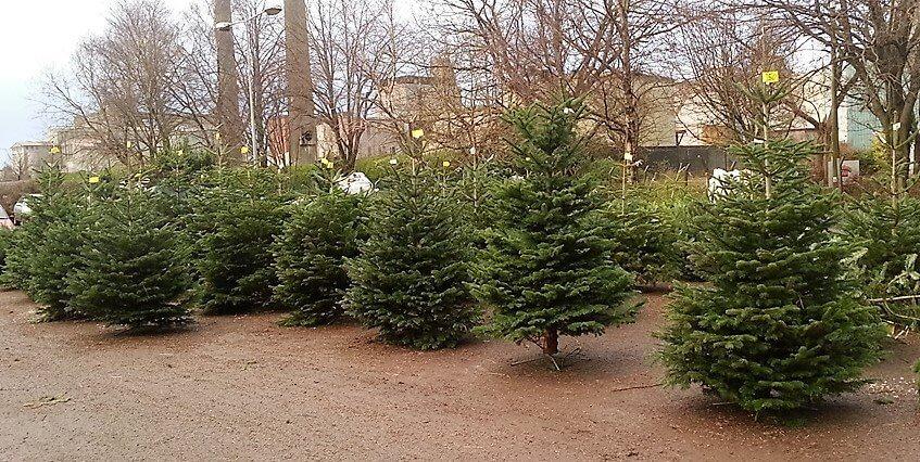 Christmas Trees Cork City