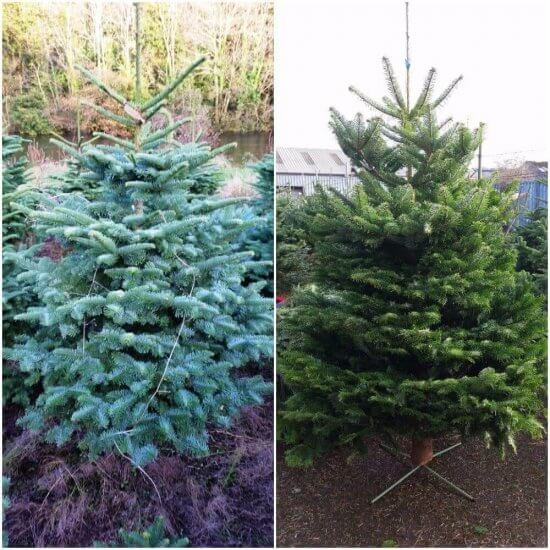 cork premium christmas trees