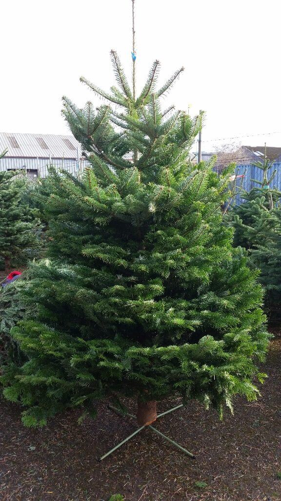 a53673ef83a Real Christmas Trees For Sale