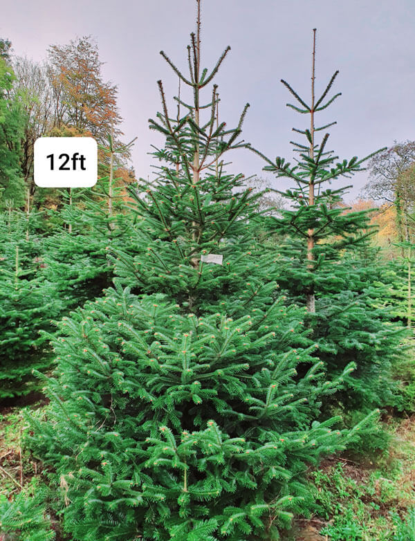 Large Outdoor Tree | Cork Christmas Trees