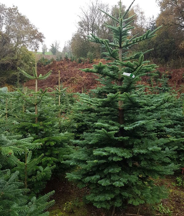 Large Christmas Trees | Large Outdoor Tree | Cork ...