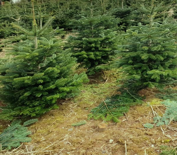 small christmas trees for sale