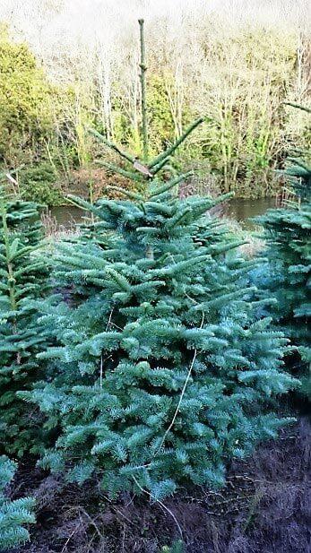 Christmas Trees Cork