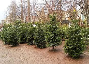 selecting christmas tree cork