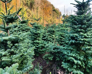 noble-fir, one of the most popular types of real trees