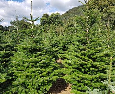 nordmann fir, a popular tree types in ireland