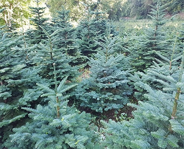 Christmas Tree Types.Christmas Trees Types Ireland Products Cork Christmas Trees