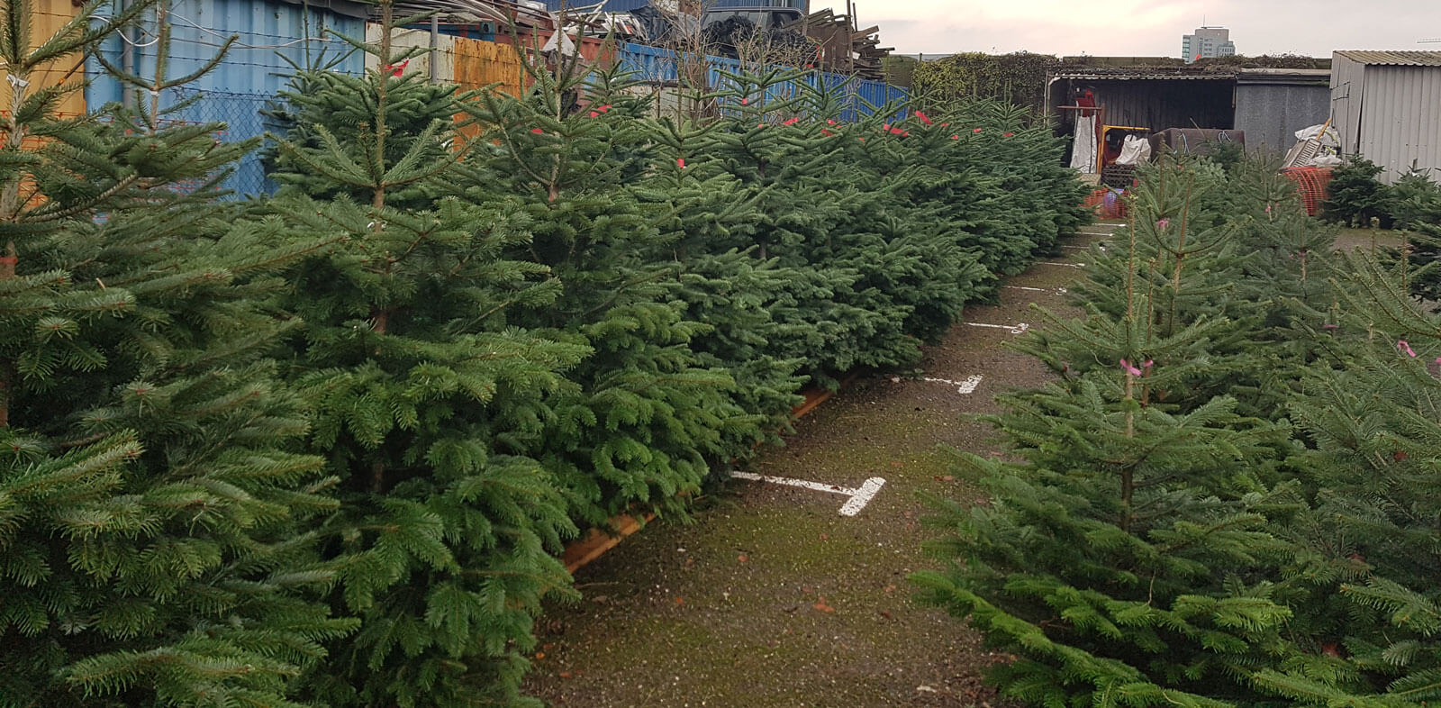 picture of christmas trees for sale