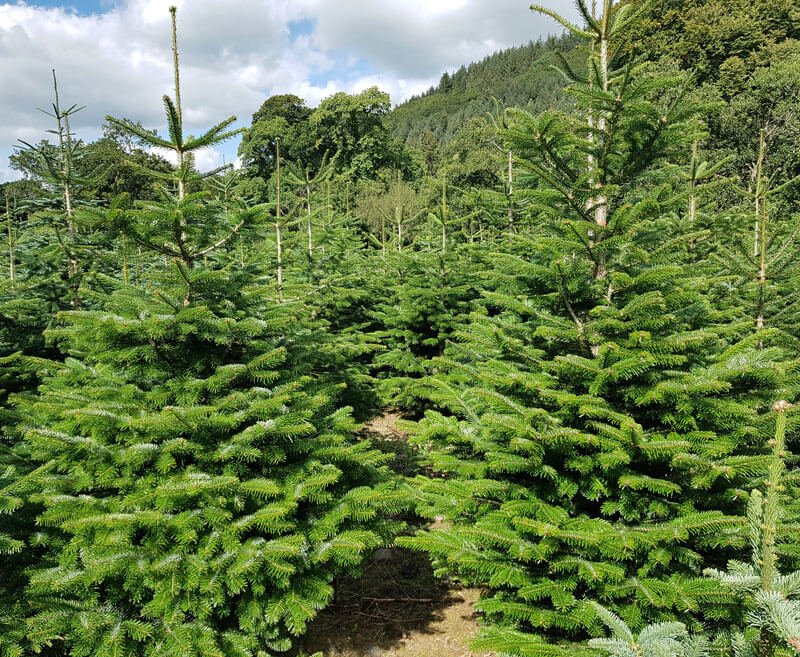 picture of christmas trees in Ireland