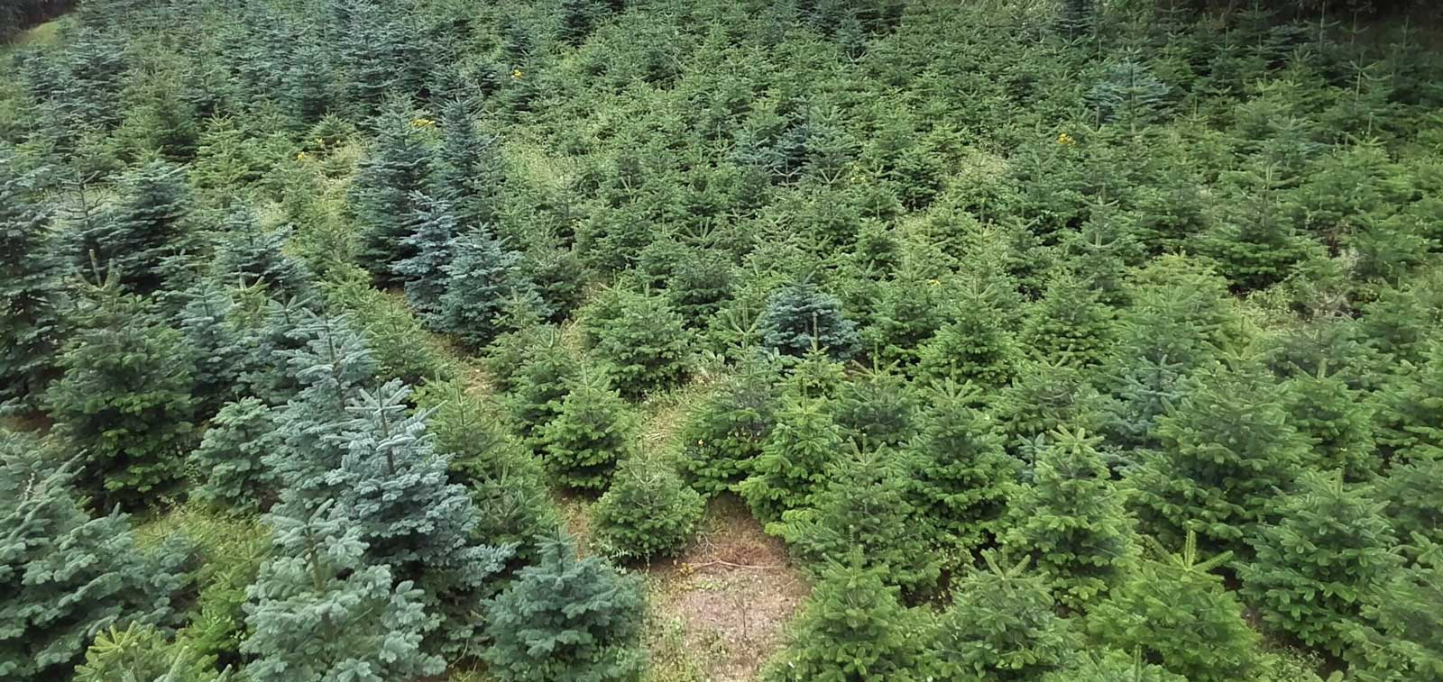 image of real trees for sale