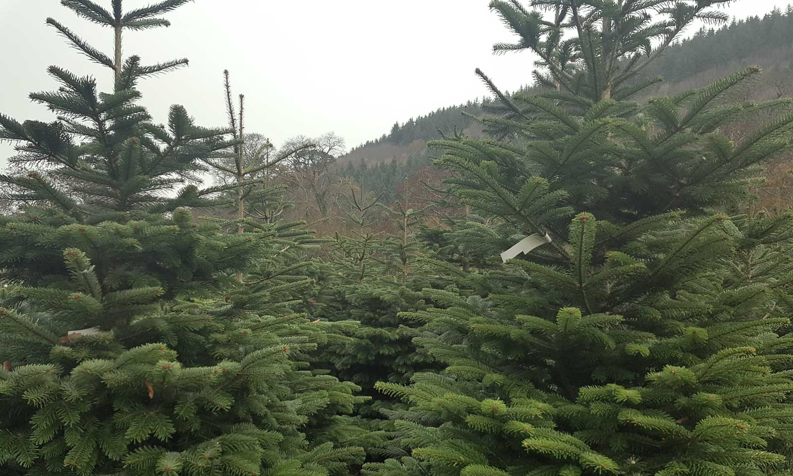 picture of real Christmas trees for sale