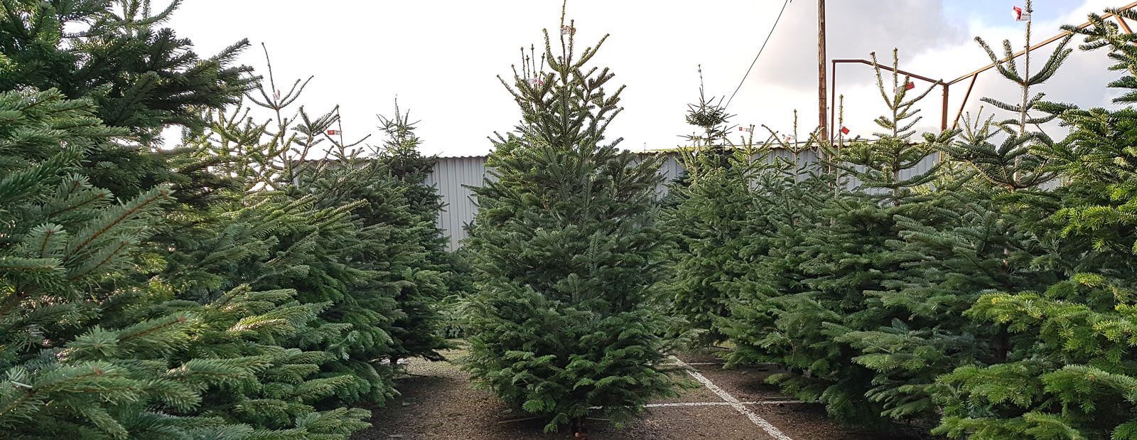 picture of xmas tree retail lot