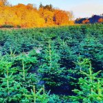 christmas tree farm in cork, Ireland