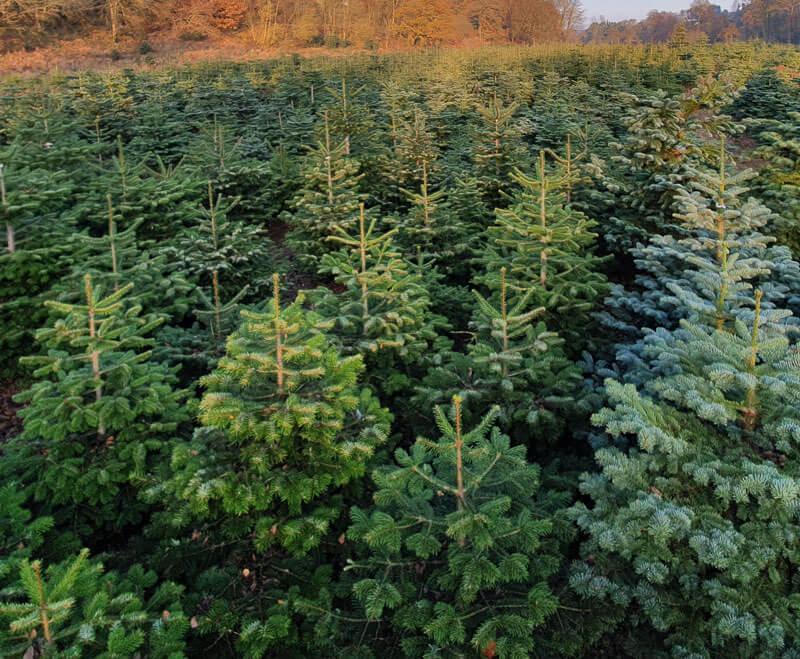 christmas trees wholesale
