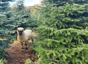 sustainable and organic christmas trees with shropshire sheep